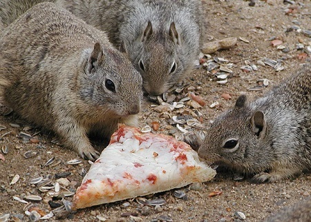 squirrels eating pizza