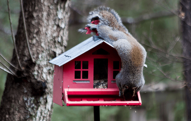 Is There Such Thing as a Squirrel Mating Call?