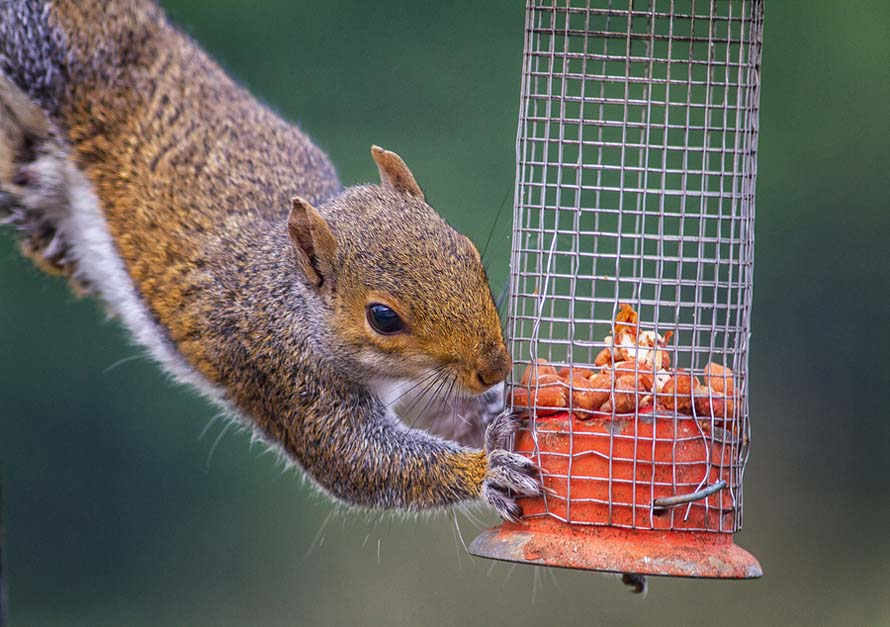 Naughty Grey Squirrel Raiding The Bird Feeder