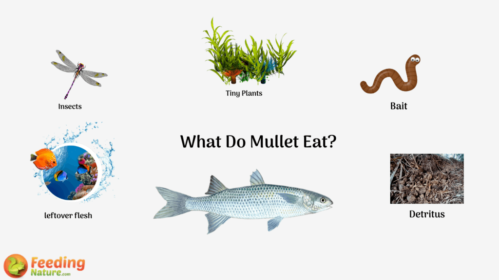 What do Mullet Eat?