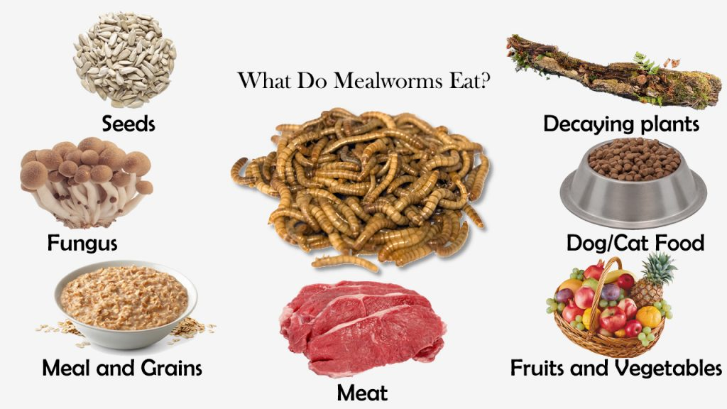 What Do Mealworms Eat?