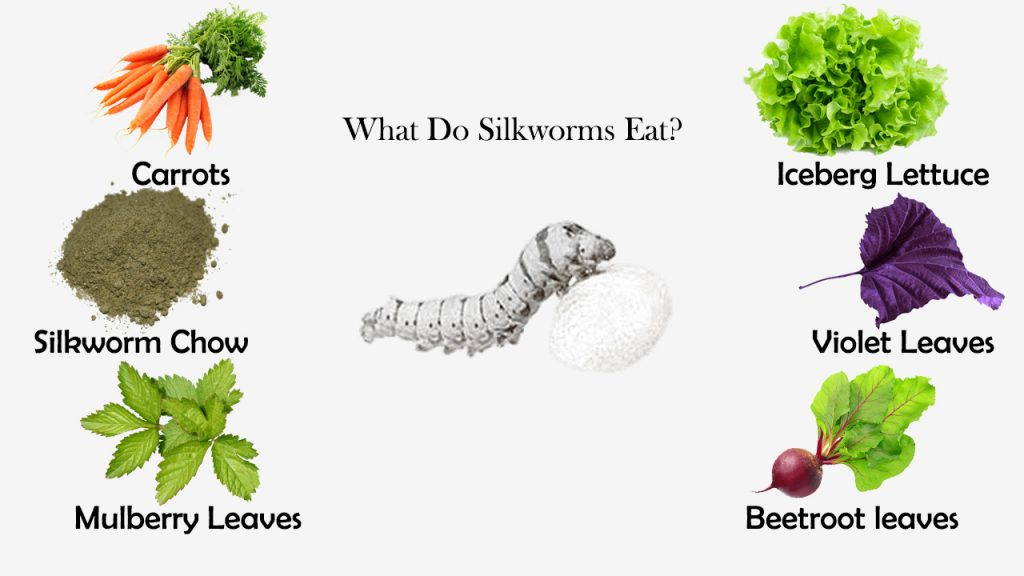 What Do Silkworms Eat?