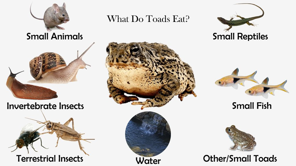 What Do Toads Eat?
