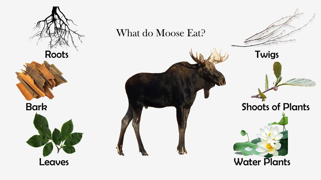 What do Moose Eat?