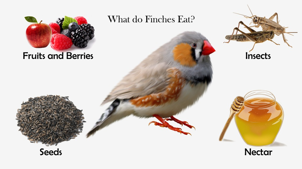 What do Finches Eat?