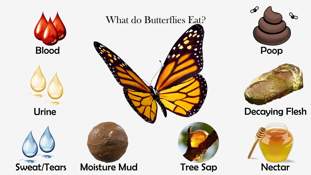 What do Butterflies Eat?