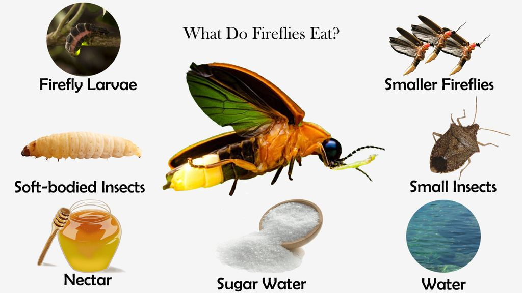 What Do Fireflies Eat?