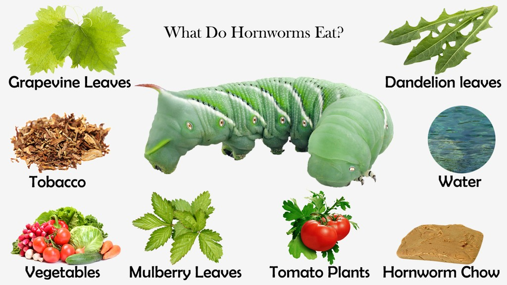 What Do Hornworms Eat?