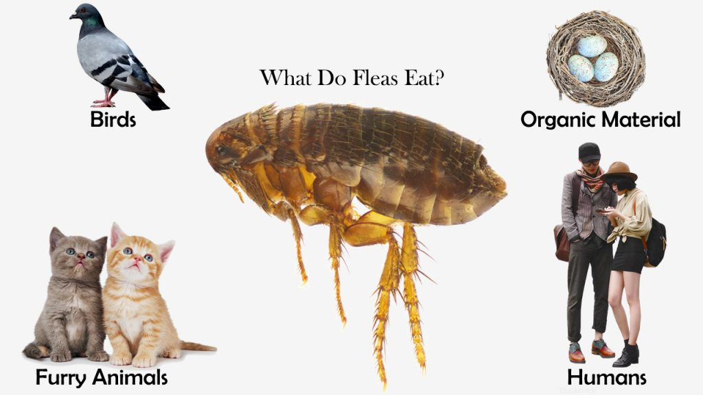 What Do Fleas Eat?