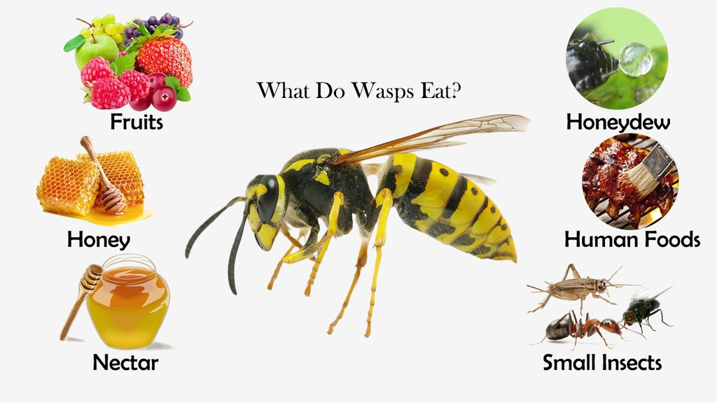 What Do Wasps Eat?