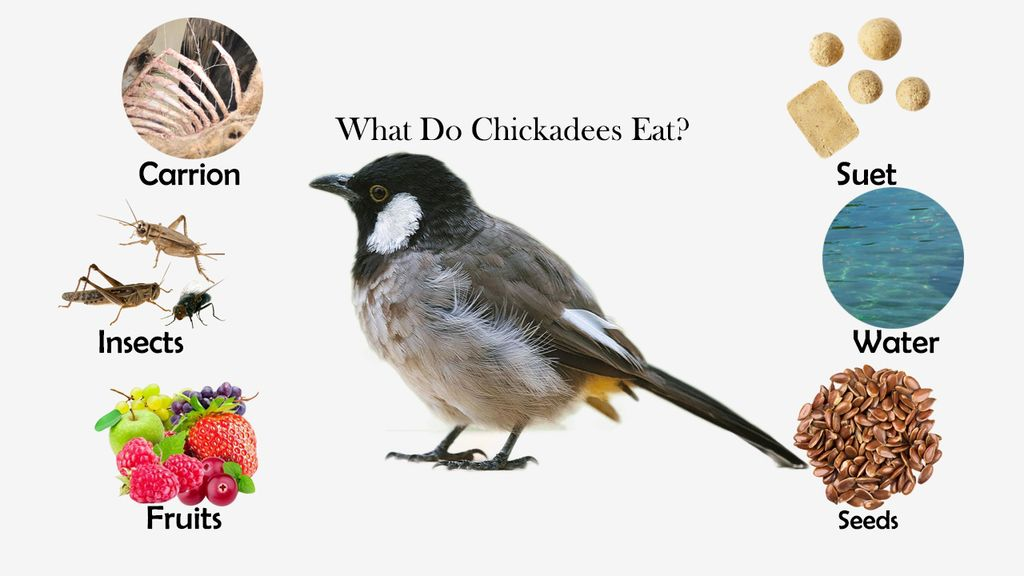 What Do Chickadees Eat?