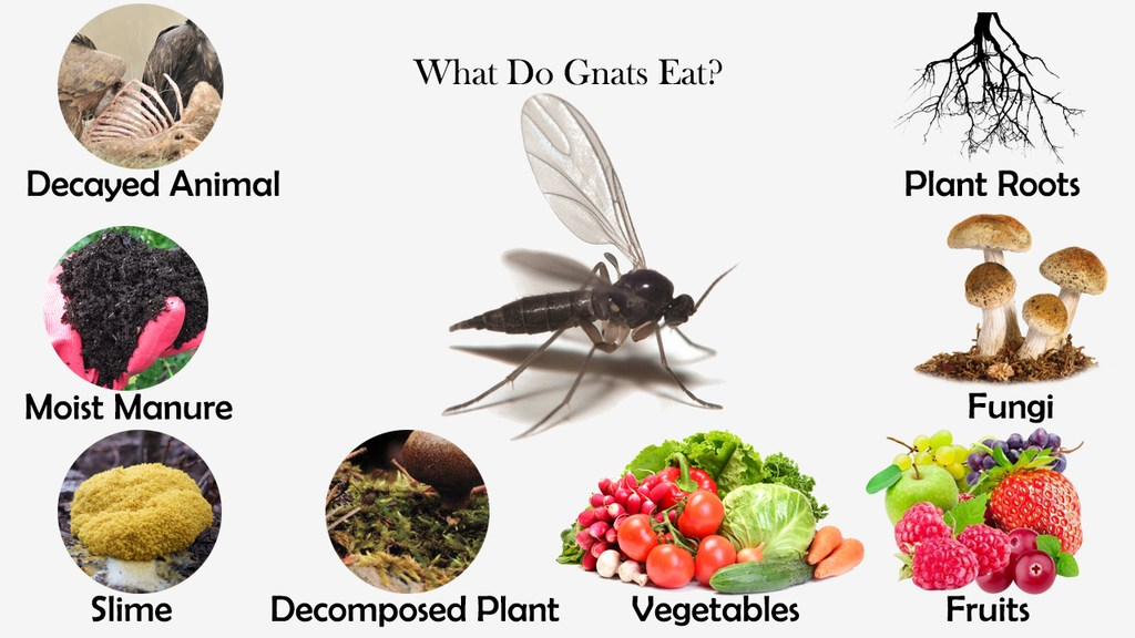 What Do Gnats Eat?