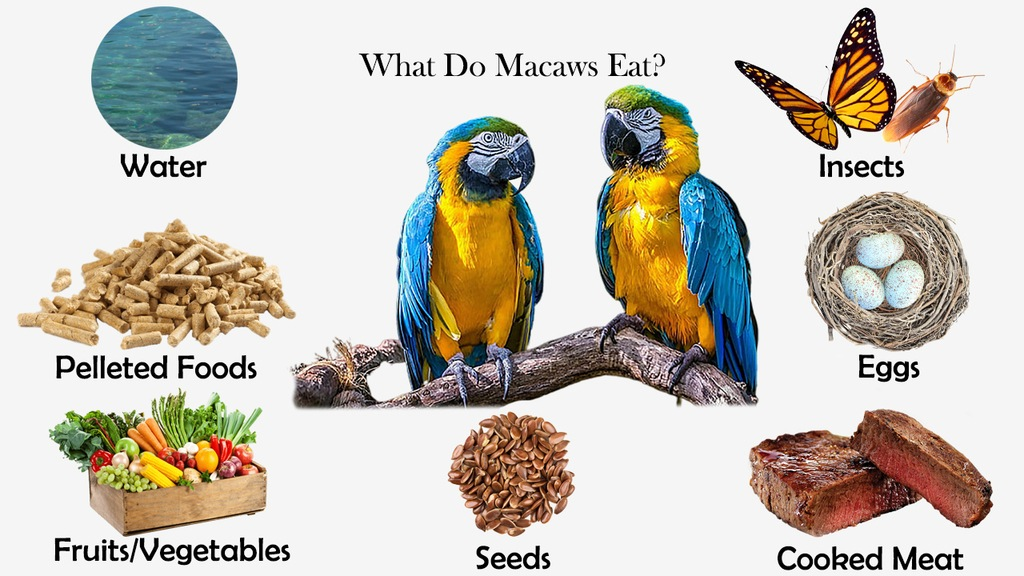 What Do Macaws Eat?