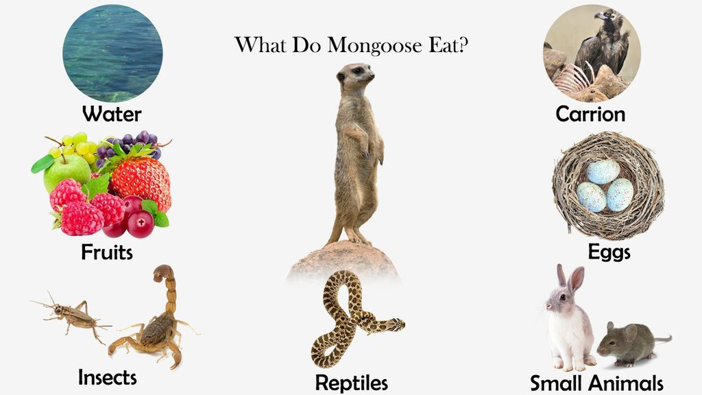 What Do Mongoose Eat?