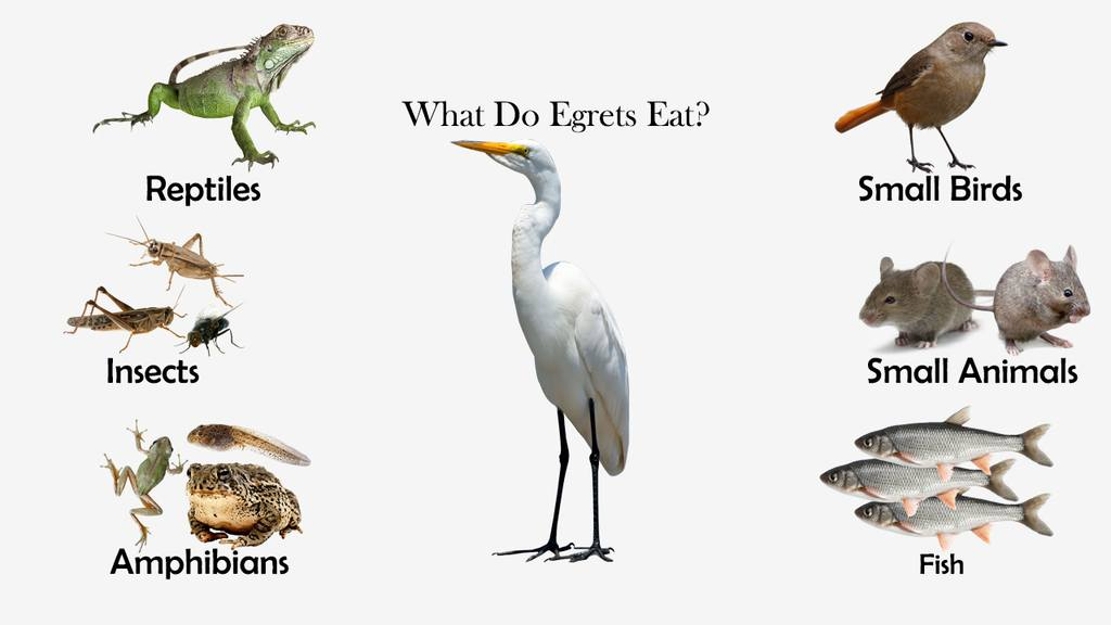 What Do Egrets Eat?