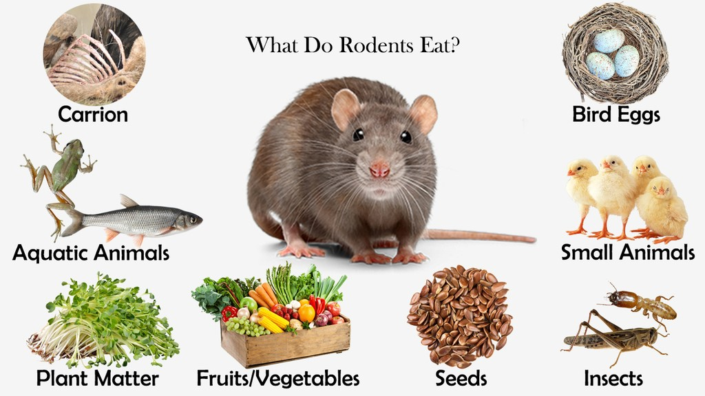 What Do Rodents Eat?